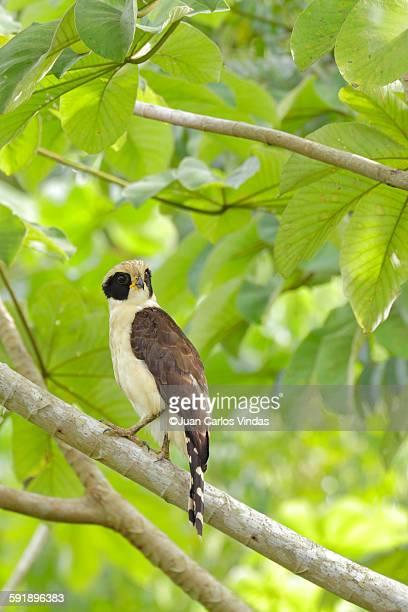 laughing falcon - carlos falco fotografías e imágenes de stock