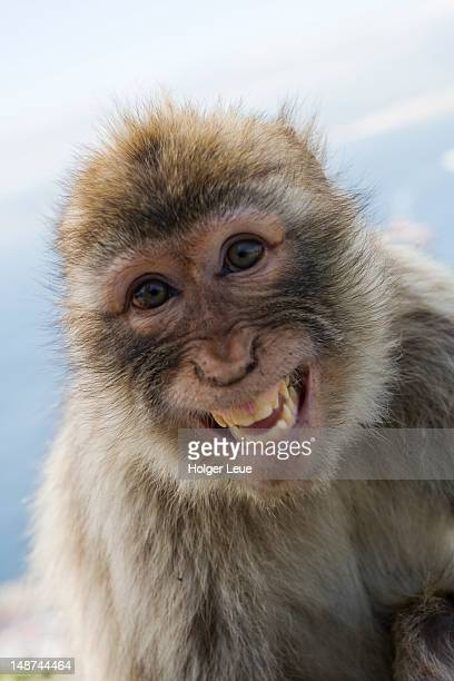 laughing gibraltar ape (barbary macaque) at upper rock nature reserve. - funny monkeys stock pictures, royalty-free photos & images