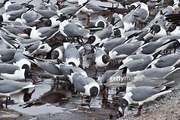 Laughing Gulls feeding on the beach Leucophaeus atricilla