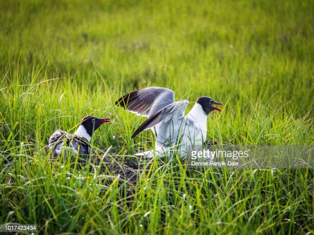 laughing gulls mating at chincoteague national wildlife refuge - panyik-dale stock photos and pictures