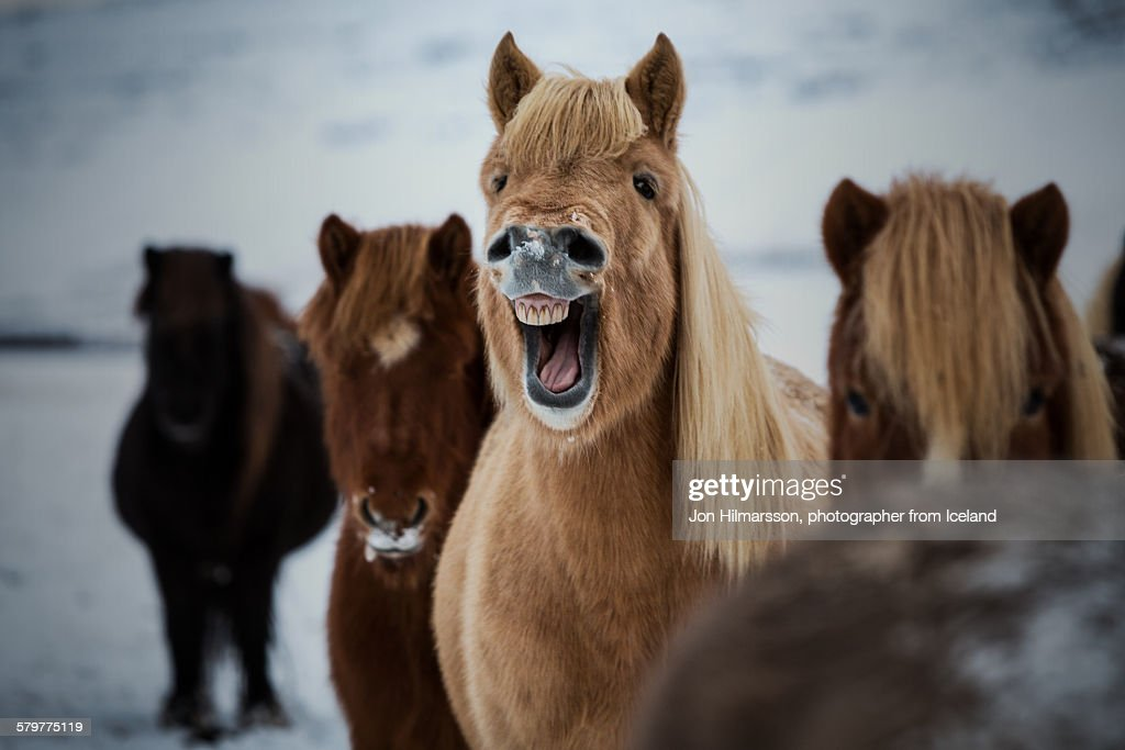 Laughing horse : Stock Photo