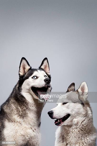 laughing husky dogs - husky dog stock pictures, royalty-free photos & images