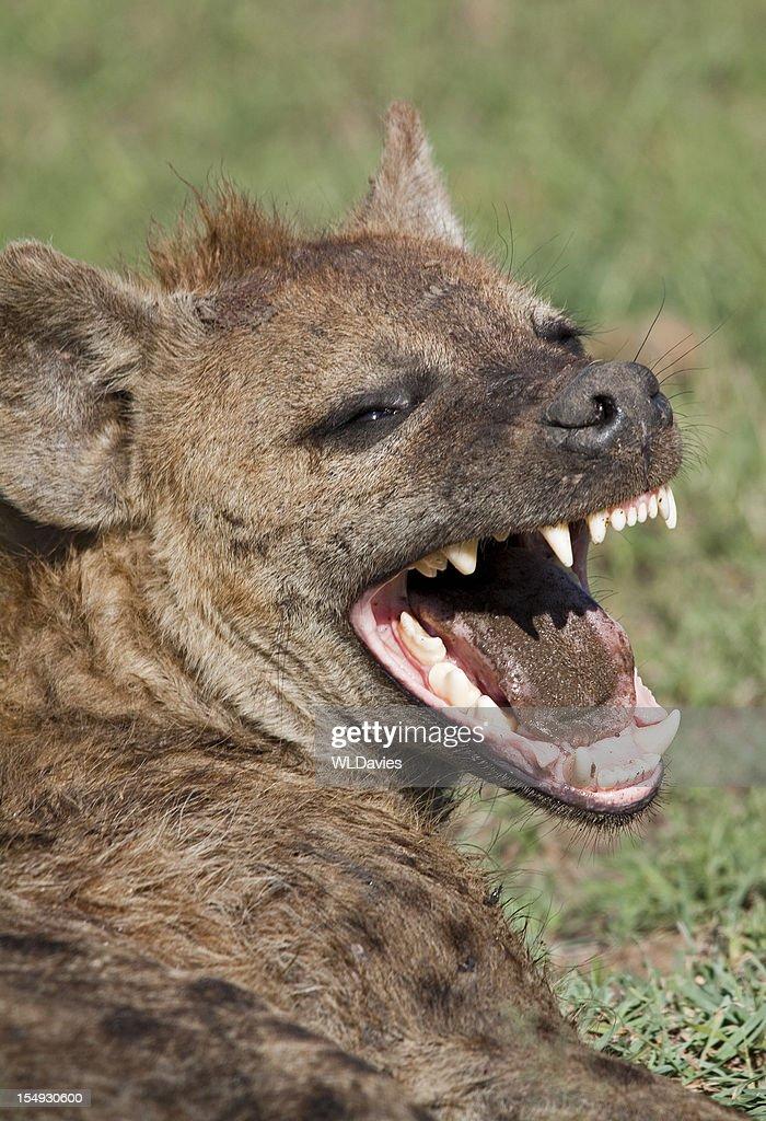 Laughing Hyena : Stock Photo
