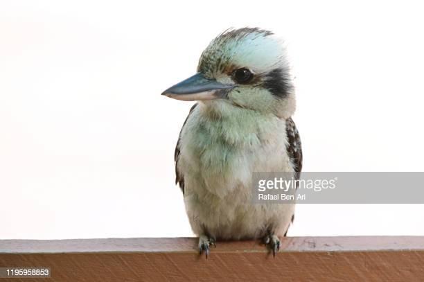 laughing kookaburra bird - rafael ben ari stock-fotos und bilder