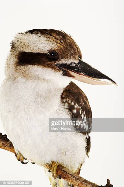 Laughing Kookaburra perching on branch, studio shot