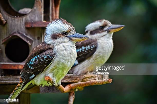 laughing kookaburras (dacelo novaeguineae) - perching stock photos and pictures