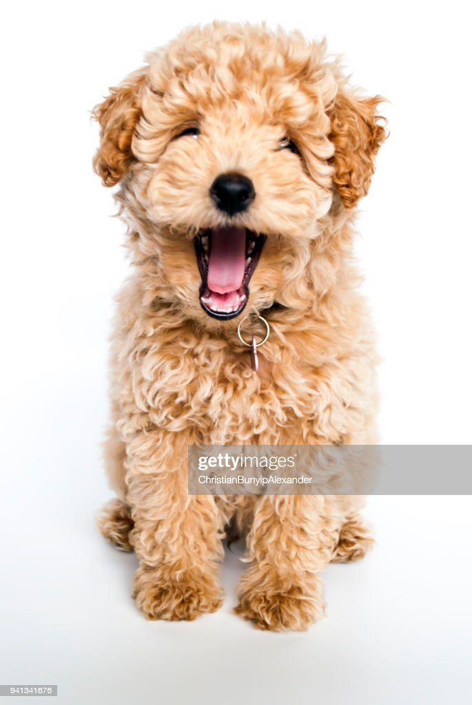 Laughing poodle puppy dog : Stock Photo