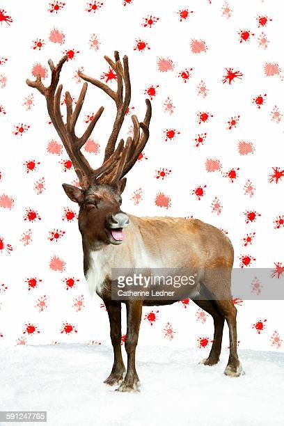 Laughing Reindeer on Snow and Wallpaper