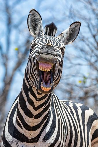 Laughing Zebra 1129073131