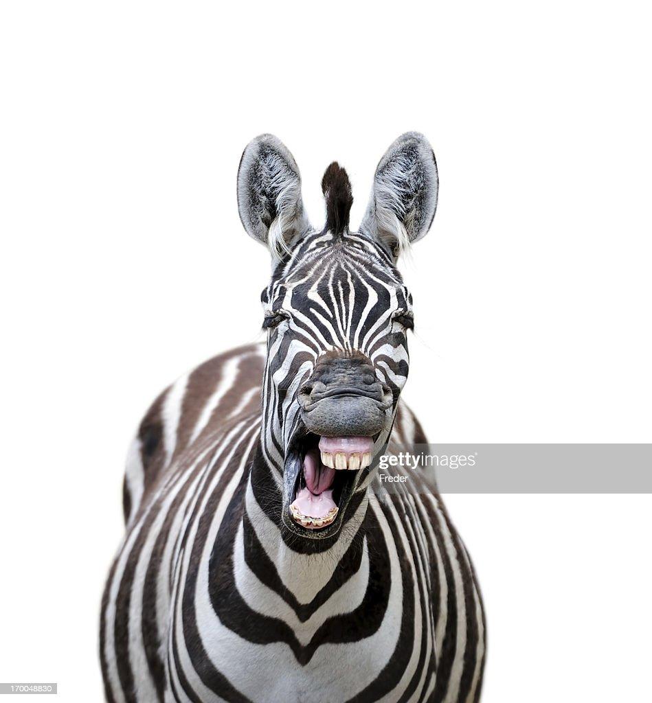 laughing zebra : Stock Photo