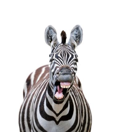 laughing zebra 170048830