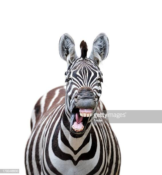 laughing zebra - zebra stock pictures, royalty-free photos & images