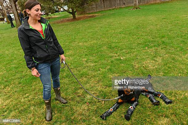 Laura Aquilina works with her new dog Brutus near their home in Loveland Colorado on April 2 2015 Brutus a full breed Rottweiller had frost bite as a...