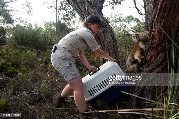 Laura Clifton a koala keeper from Australia Zoo releases a koala affected by the recent bushfires and treated by the Kangaroo Island Wildlife Park...