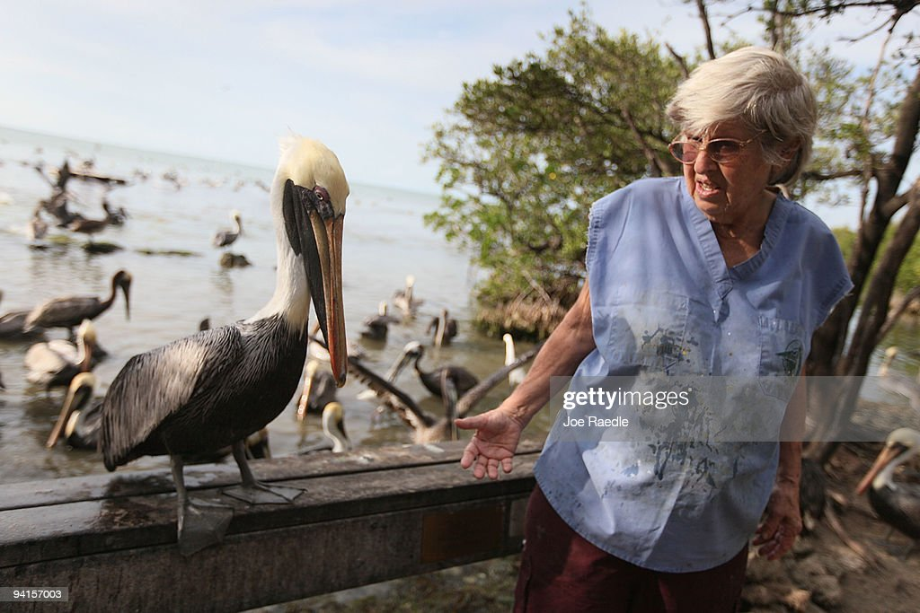 Laura Quinn the founder of the Florida Keys Wild Bird Rehabilitation Center talks to a pelican as she walks through the center on December 8, 2009 in Tavernier, Florida. The center which cares for sick and injured birds came close to shutting down because of the lack of donations due to the economic downturn this summer, but recently donations have come through due to publicity about the plight of the center. The center continues to need donations to operate the place that founder Laura Quinn, a retired teacher, began almost 20 years ago. They treat and release about 700 birds a year and permanently care for about 90 birds as well as having daily feedings for wild birds in the area.