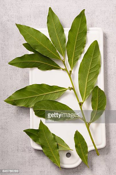 laurel-leaf