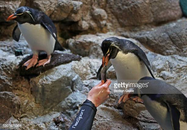 Lauren Smith hand feeds a southern rockhopper penquin at The New England Aquarium in Boston on March 19, 2020. The aquarium is taking care of all its...