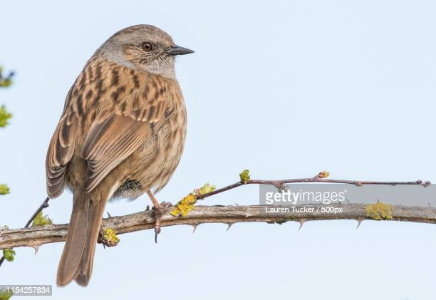 lauren tucker photography - dunnock stock pictures, royalty-free photos & images