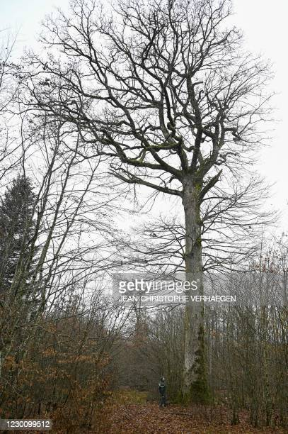 Laurent Kontor territorial forestry technician of the National Forest Office stands near a Darney oak, in the middle of Darney oak logs, eastern...