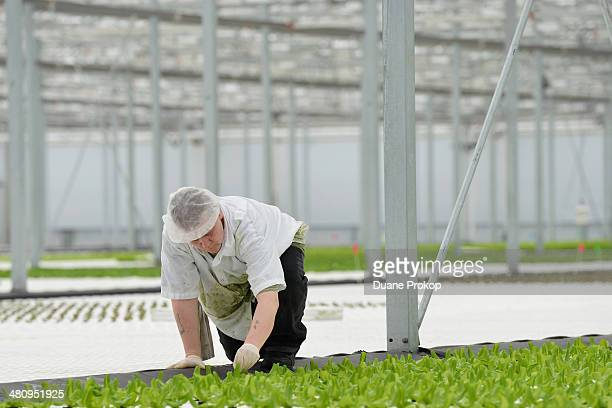 Laurie Cook an employee at Green City Growers Cooperative Inc is shown working in the one of the hydroponic ponds at their 325acre greenhouse on...