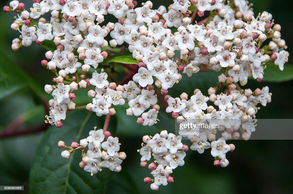 lauriertin en fleur : Stock Photo