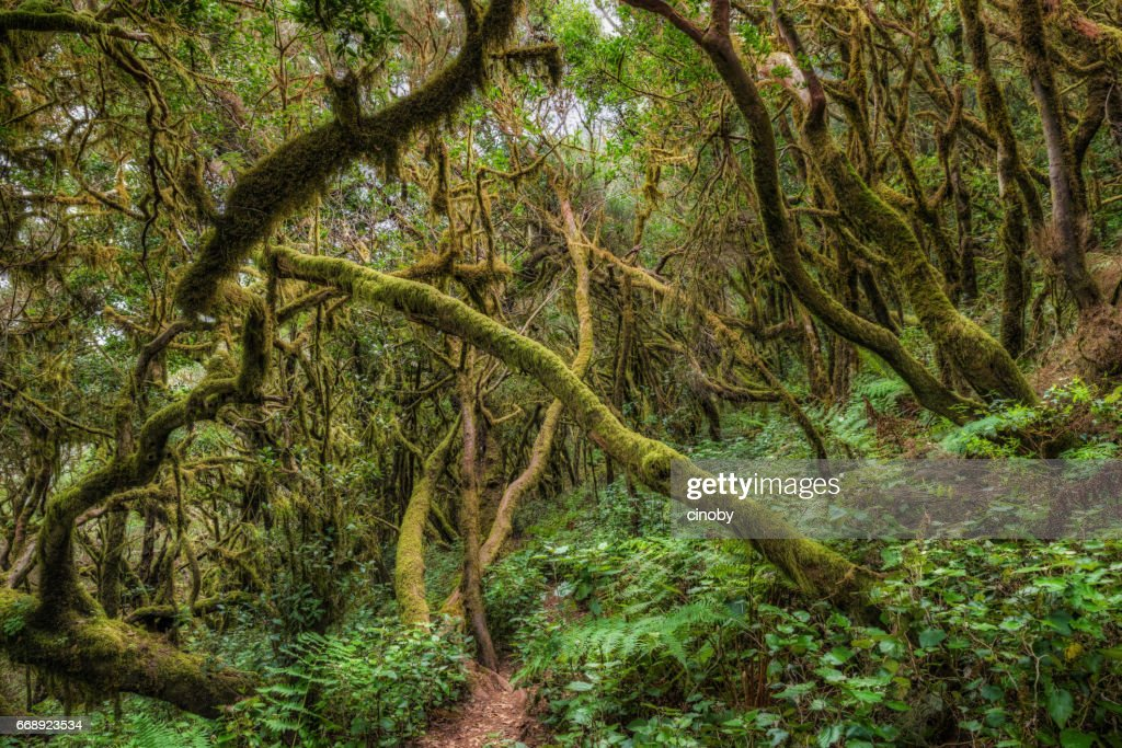 Laurisilva / Fog forest in Garajonay National Park in La Gomera / Spain : Stock Photo