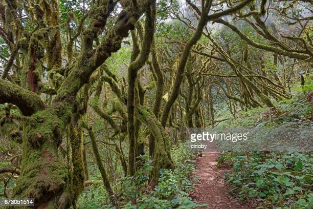 Laurisilva / Fog forest in Garajonay National Park in La Gomera / Spain