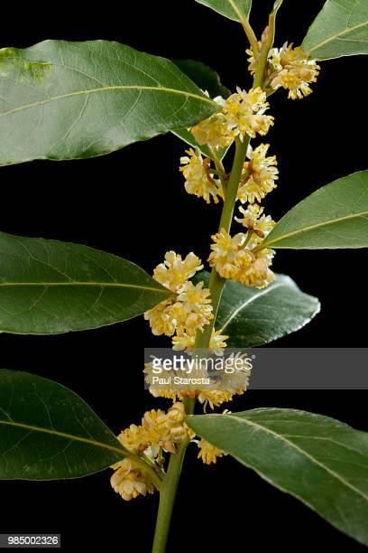 Laurus nobilis (bay laurel, bay tree, sweet bay)