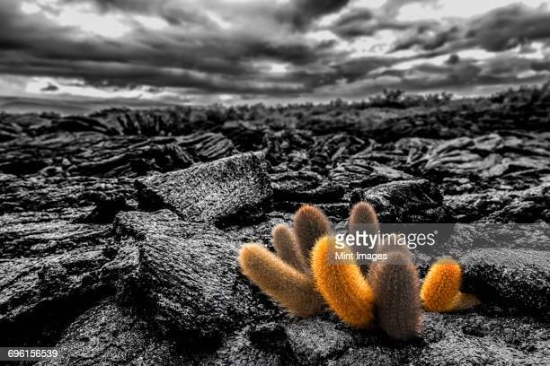 lava cactus plants, brachycereus spp, growing in the lava fields of fernandina island. - volcanic landscape stock pictures, royalty-free photos & images