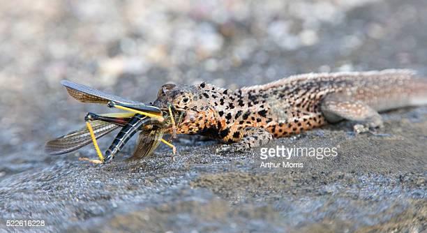 Lava Lizard Devouring Galapagos Painted Locust