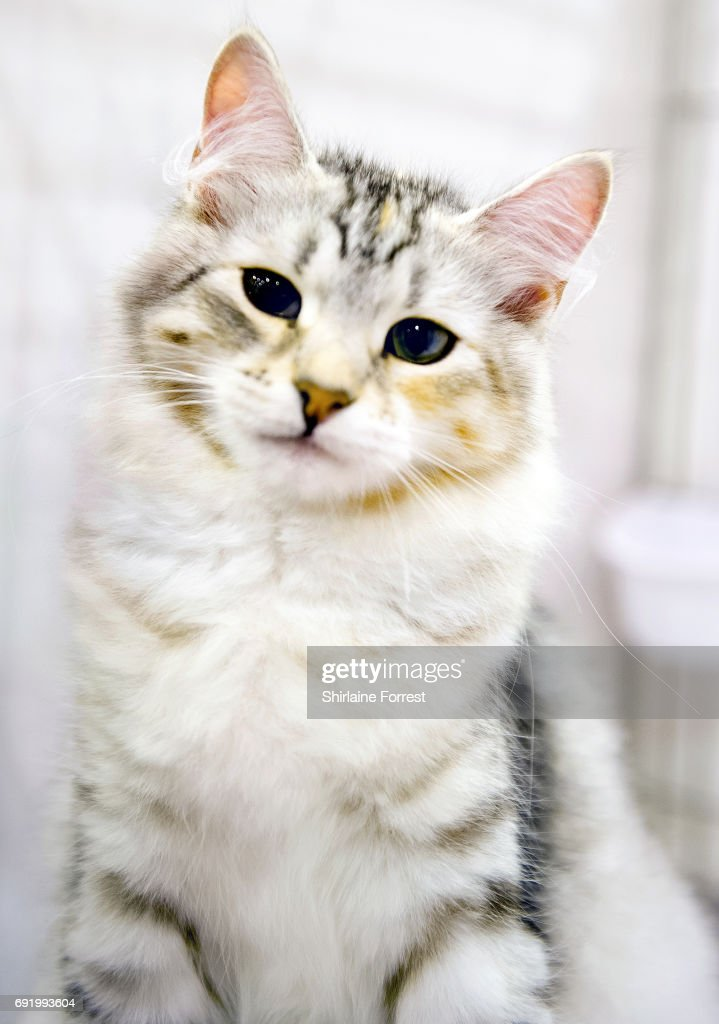 Lavalna Snowy-Blizzard, a Siberian kitten at Merseyside Cat Club Championship show at Sutton Leisure Centre on June 3, 2017 in St Helens, England.