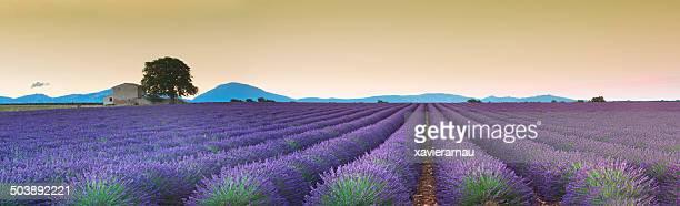 lavanda fields sunrise - provence alpes cote d'azur stock photos and pictures