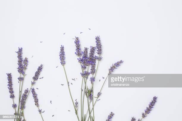 lavande bouquet - lavender stock pictures, royalty-free photos & images
