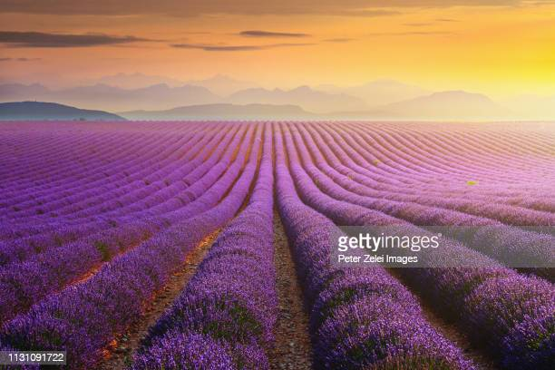 lavander field at sunset in provence, france - provence alpes cote d'azur stock pictures, royalty-free photos & images