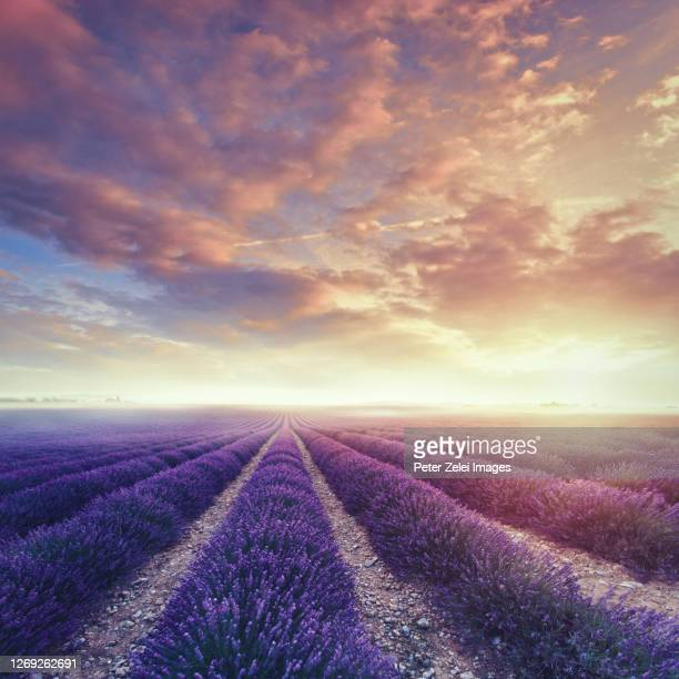 lavander field in provence at sunset - carré composition photos et images de collection