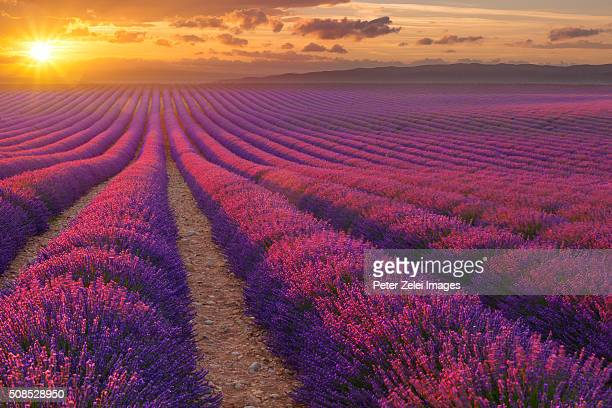 lavander field in provence at sunset - plateau de valensole stock photos and pictures