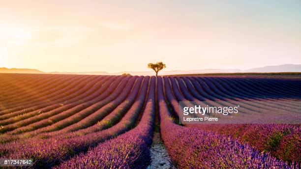 Lavander field in Valensole