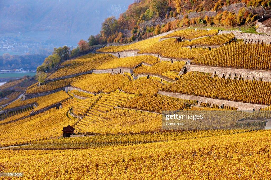 Lavaux Vineyards at Sunset, Switzerland : Stock Photo