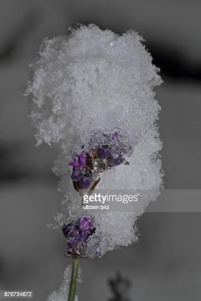 Lavendel violette Blueten schneebedeckt