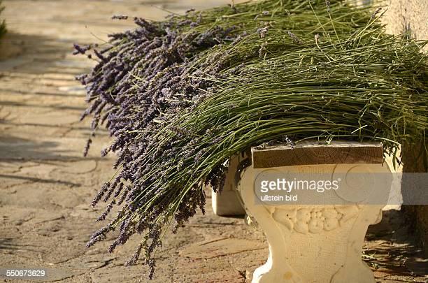 Lavendel-Blueten, echter L., Lavandula angustifolia, blau, trocknen im Hausgarten, Duftstoffpflanze, Küchengewürz, Aromapflanze, Ligurien, Italien, -...