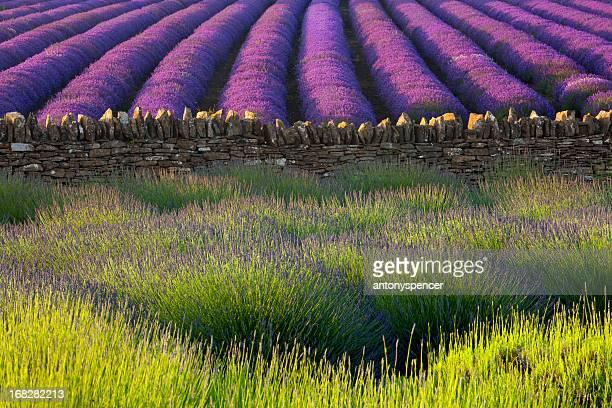 Lavendel abstrakte