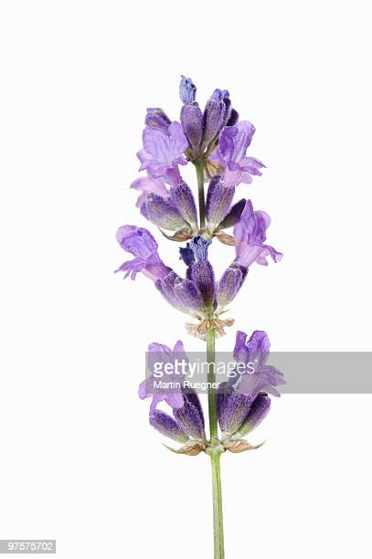Lavender against white background.