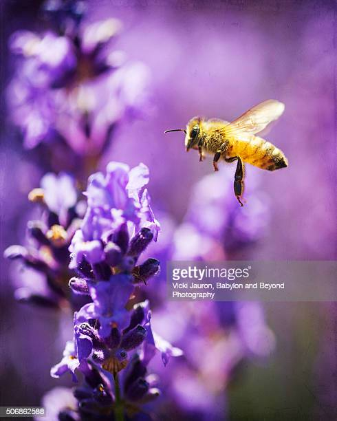 Lavender and a Bee in Flight