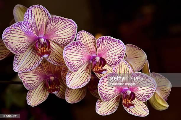 Lavender and cream Phalaenopsis Kaleidoscope Candy Stripe Moth orchid flower hybrid.