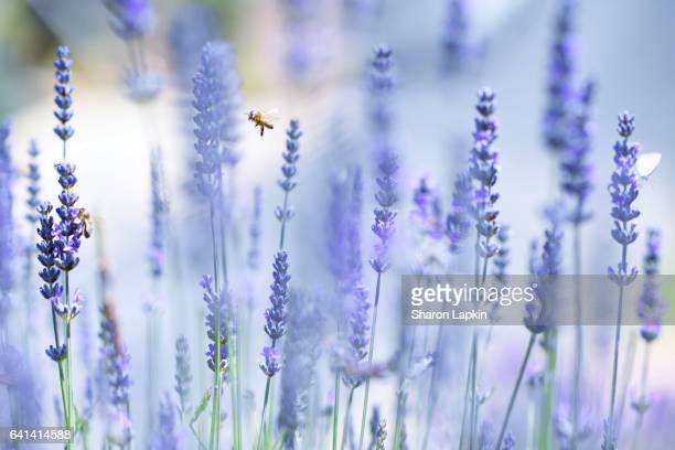 Lavender and flying bees