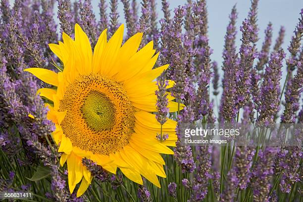 Lavender And Sunflower Helianthus annuus Blue and Yellow Flowers Department 04 PACA or Provence Alpes Cote d'Azur Region South of France