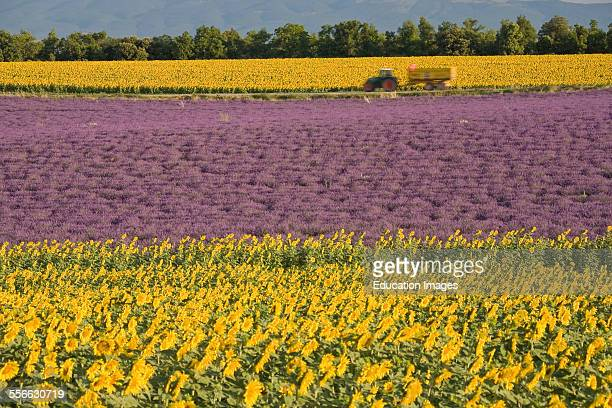 Lavender And Sunflower Helianthus annuus Field of Yellow and Blue Flowers Department 04 PACA or Provence Alpes Cote d'Azur Region South of France