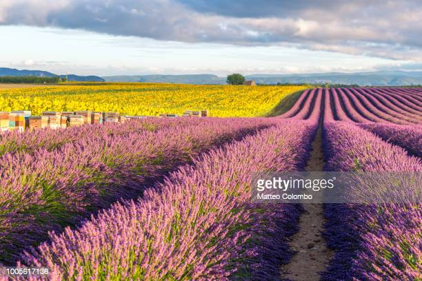 lavender and sunflowers fields in summer, provence, france - ヴァレンソール高原 ストックフォトと画像