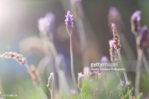 Lavender Art