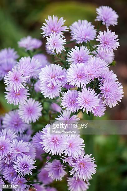 Lavender Aster Novi Belgii in Full Bloom